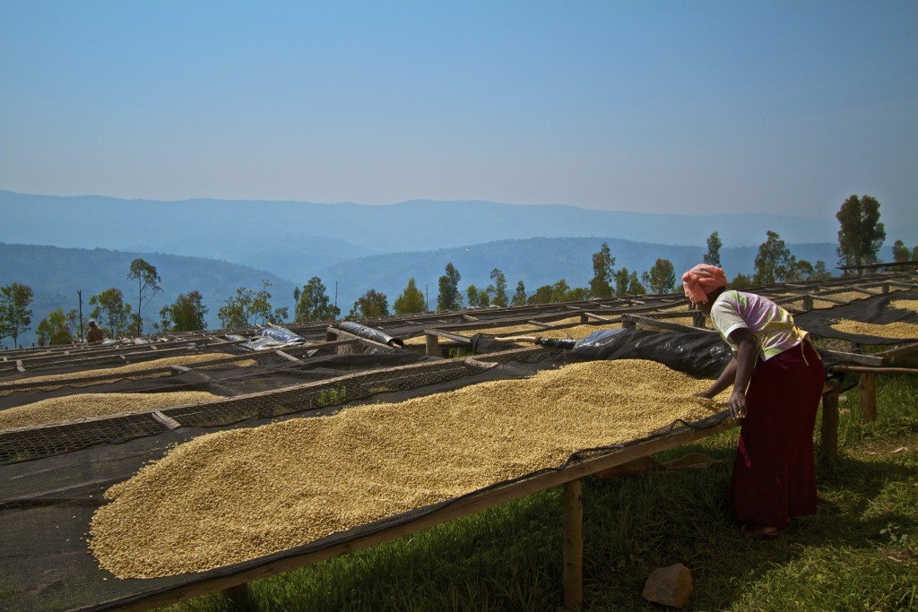 Rwanda: parchment coffee being sun-dried on drying tables at Musasa cooperative.  In 2005, Musasa became Root Capital's first client in Africa.