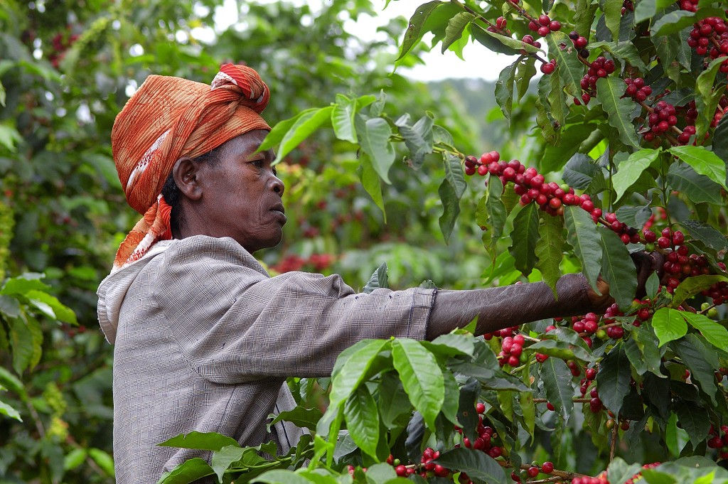 Rwanda: coffee producer and member of Maraba cooperative, picking ripe coffee cherries by hand.