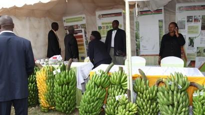 Banana growers displaying their produce during a Banana Conference in Nairobi, Kenya on 23 October 2013.