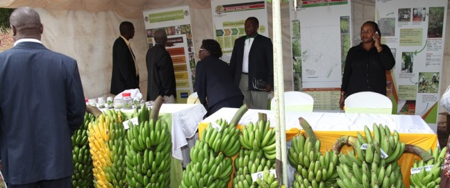 Banana growers displaying their produce during a Banana Conference in Nairobi, Kenya on 23 October 2013.