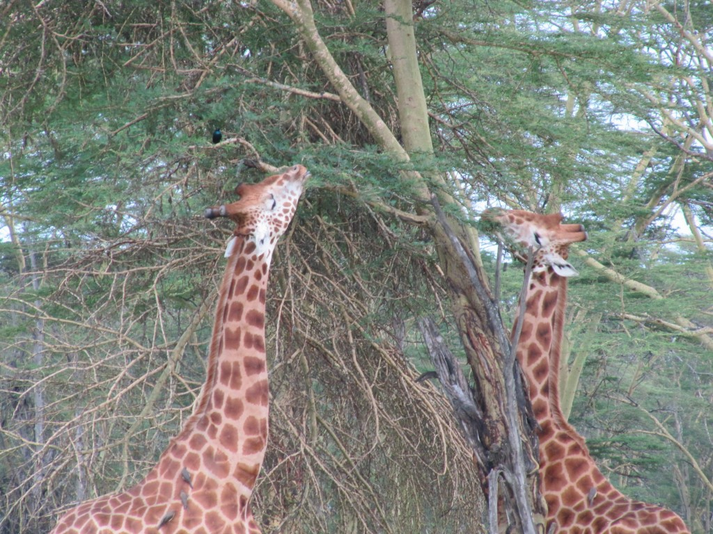 Thanks to the Biomimicry Institute, we appreciate that our species is anything but unique in its reliance on feedback. Perhaps few feedback loops are as striking as that between acacia trees and giraffes.
