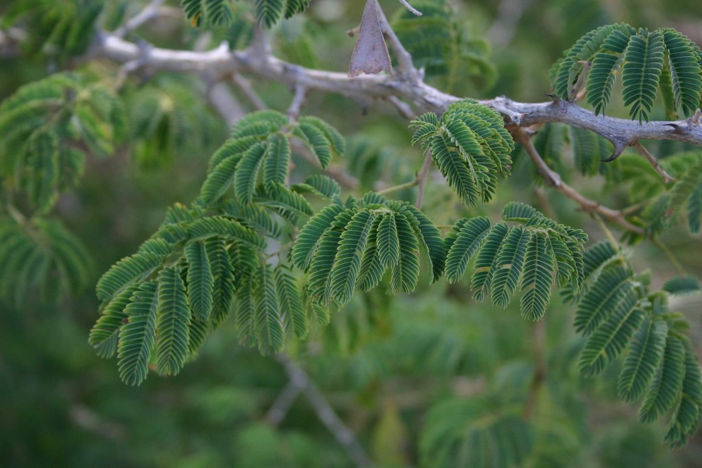 The leaves of acacias Acacia erubescens.