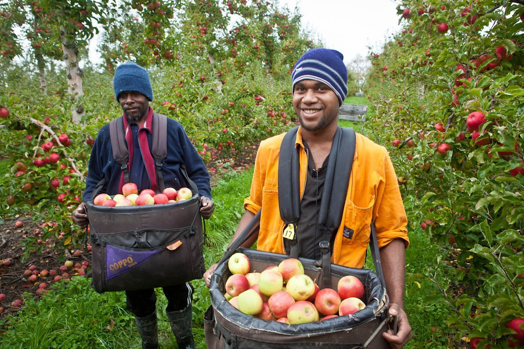 Recognised Seasonal Employer workers were recruited in Tonga, Samoa and Vanuatu. Credit: Horticulture NZ.